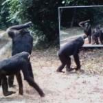 Így reagálnak a vadállatok a tükörképükre