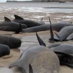 A víz alatti robbantások okozták a tömeges skóciai delfinpusztulást