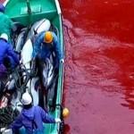 A nemzetközi nyomás ellenére is folytatódik a kegyetlen delfinmészárlás