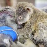 Műtét közben sem engedte el anyját a koalabébi