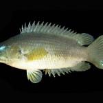 Ausztrália felé terjeszkedik egy rendkívül kártékony hal, ami több napot is kibír a szárazföldön