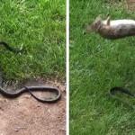 Dühös nyuszi harcolt a kölykeit megtámadó kígyóval [videó]