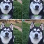 Hihetetlenül vicces arcokat vág Anuko, a szibériai husky