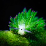 Egy aranyos kinézetű, bárányra hasonlító tengeri csiga