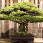 A 390 éves bonsai, ami túlélte Hirosimát is