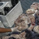 1,4 tonna fagyasztott tobzoskát fogtak el és semmisítettek meg indonéz rendőrök