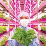 Naponta 10.000 salátát termesztenek a világ legnagyobb beltéri farmján