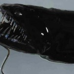 A félelmetes kinézetű fekete sárkányhal