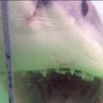 Félelmetes találkozás egy hatalmas  fehér cápával