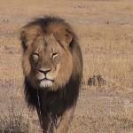Photo: Egy amerikai fogorvos ölte meg Zimbabwe leghíresebb oroszlánját