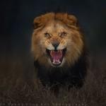 A nap képe – támadni készülő oroszlán