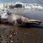 Photo: Különös állat teteme sodródott partra Oroszországban