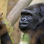 Bemutatott a gorilla a fotósnak