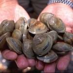 Mérgezővé teheti a kagylót és az osztrigát a klímaváltozás