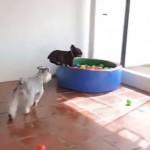 Kiskutya első találkozása a labdakupaccal