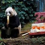 Harminchét éves lett a világ legidősebb óriáspandája