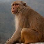 Lopott pénzt szórt egy majom egy templom látogatóira