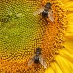 Évente 1,4 millió ember halálához vezetne, ha kihalnának a méhek