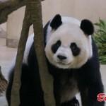 Terhesnek tettette magát egy állatkerti panda, hogy kiváltságokhoz jusson