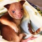 Wallaby nevelt fel erszényében egy árván maradt fakúszó kengurut