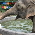 Photo: Szülinapi meglepetést kapott Raju, az 50 évnyi fogság után kiszabadított elefánt