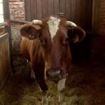 Elkapták a két éve szökésben lévő tehenet Lengyelországban