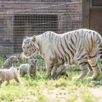 Bemutatták a fehér tigriskölyköket a győri állatkertben