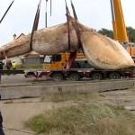 17 méter hosszú bálna sodródott partra Lengyelországban