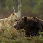 Csodás fotók egy medve és egy farkas különleges barátságáról