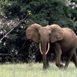 Nagy-Britannia katonákat küldött Afrikába az erdei elefántok védelmére