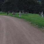 Kíváncsi kenguru sorfal várt egy ausztrál biciklist
