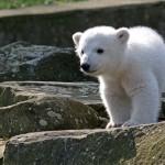 Megtalálták Knut, a híres jegesmedve halálának igazi okát