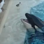 Csapdát állított egy kardszárnyú delfin egy gyanútlan madárnak