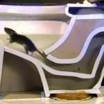 Így mászik fel a patkány a wc-csészébe
