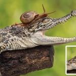Egy bátor csiga mászott fel egy krokodil fejére
