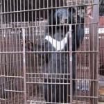 Véget vetnek 2020-ig a medveepével való kereskedelemnek Vietnamban