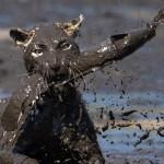 Így halászik a leopárd a mocsaras tavakból
