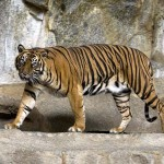 Megölte gondozóját egy szumátrai tigris az egyik lengyel állatkertben