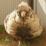 Photo: 40 kiló gyapjút nyírtak le egy évek óta kóborló birkáról
