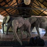 Elefántok vonulnak végig a szálloda recepcióján, hogy a mangófákról lakmározzanak