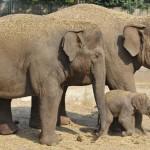 Gyorsabban öregszenek és kevesebb utódot nemzenek a stresszes anyától születő elefántok