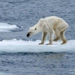Megdöbbentő fotók, amik bizonyítják, hogy a felmelegedés a jegesmedvék létét fenyegeti