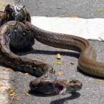 Egy piton és egy kobra küzdött meg egymással az utcán Szingapúrban