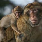 Majmokat és sólymokat is bevetnek a pekingi katonai parádé biztosítására