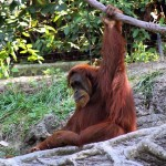 Lelőttek egy szökni készülő orángutánt a duisburgi állatkertben