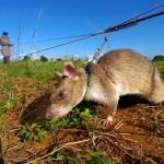 Sikerült megtisztítani Mozambikot a taposóaknáktól az aknakereső patkányoknak köszönhetően