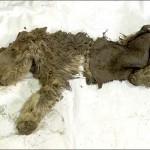 A korábban véltnél jóval idősebb az egyetlen ismert gyapjas orrszarvúborjú