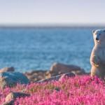 Szokatlan látvány – jegesmedvék önfeledt játéka egy rózsaszín virágmezőn