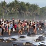 Turisták zavarták meg a teknősök tömeges fészekrakását a Costa Rica-i tengerparton