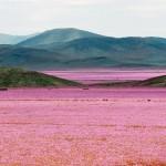 Virágba borult a Föld egyik legszárazabb sivataga